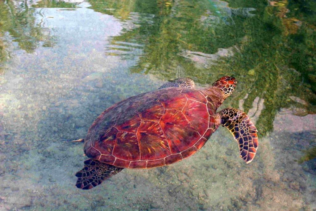 Cette tortue marine est hébergée à la clinique des tortues située dans l'enceinte de l'hôtel InterContinental. Cette clinique est gérée par l'association « te mana o te moana » qui recueille et soigne de nombreuses tortues blessées avant de leur redonner la liberté. http://www.temanaotemoana.org/fr/