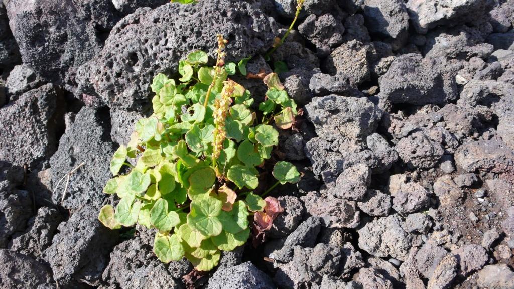 L'oxyria à deux carpelles (Oxyria digyna)est une plante vivace élégante qui fleurit sur les morceaux de lave humide de juillet à septembre.