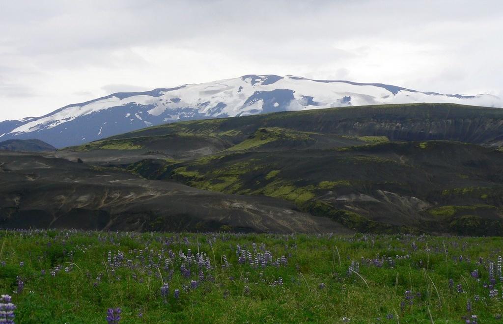 """Les lupins (Lupinus nootkatensis) en fleurs enchantent les paysages islandais en juin et juillet. Cette plante n'appartient pas à la flore endémique de l'Islande. Ils ont été introduits d'Alaska en 1945 par le service des """"Eaux et Forêts"""" islandais, dans le but d'enrayer la désertification de certaines zones et de lutter contre l'érosion des sols, notamment dans l'intérieur de l'Islande."""