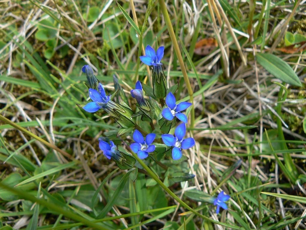 La gentiane de printemps (Gentiana verna) illumine de ses petites fleurs bleues les prairies humides et les pâturages.