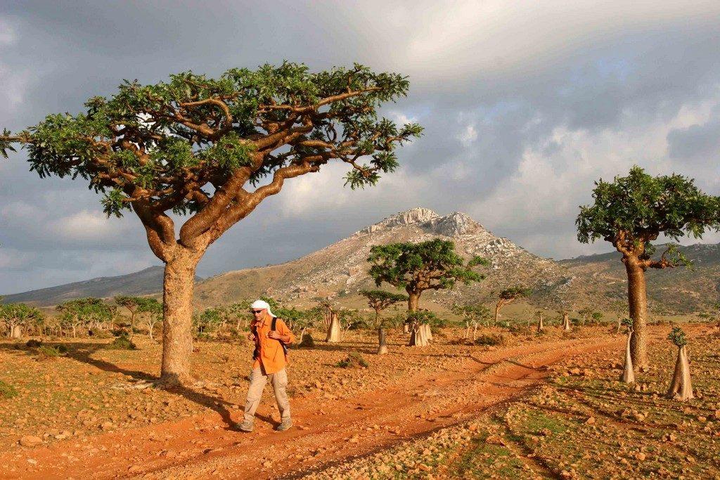 Au nord de l'île, des Boswellia sacra, arbre à encens, veillent sur le randonneur.