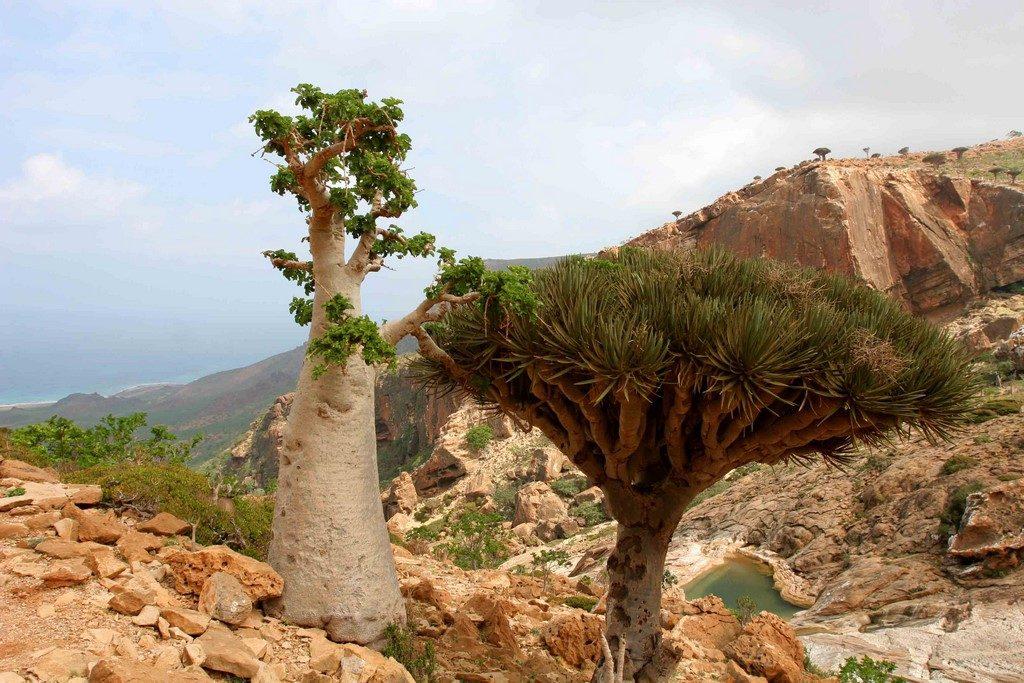 L'étrange arbre concombre (Dendrosycyos socotrana) peut atteindre 4 m de hauteur.