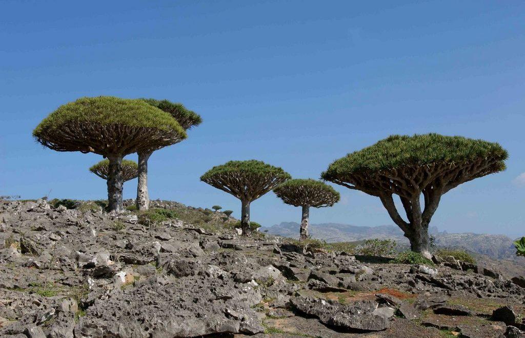 Yemen – Socotra : l'île du sang-dragon