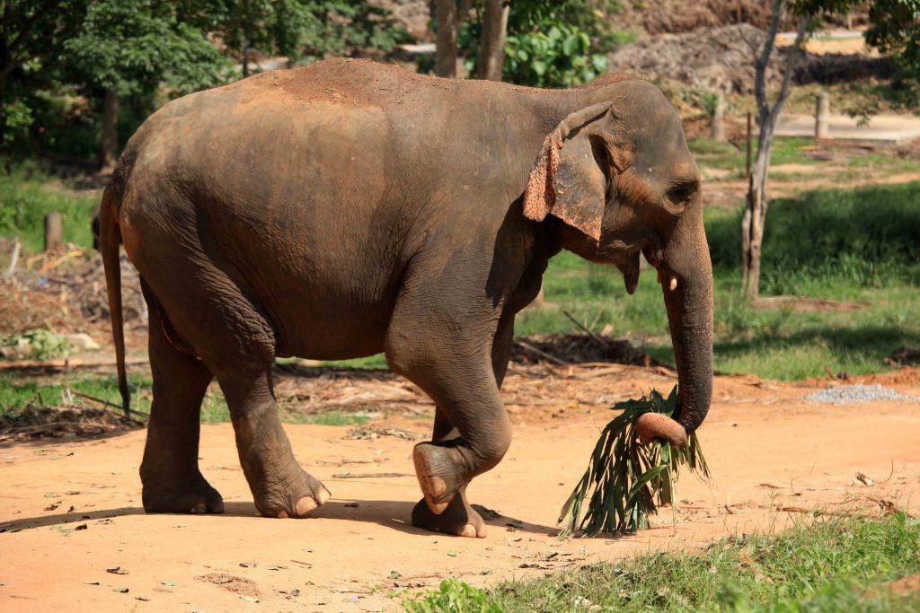 Pour les éléphants sauvages, l'enjeu est de survivre dans un milieu de plus en plus hostile.