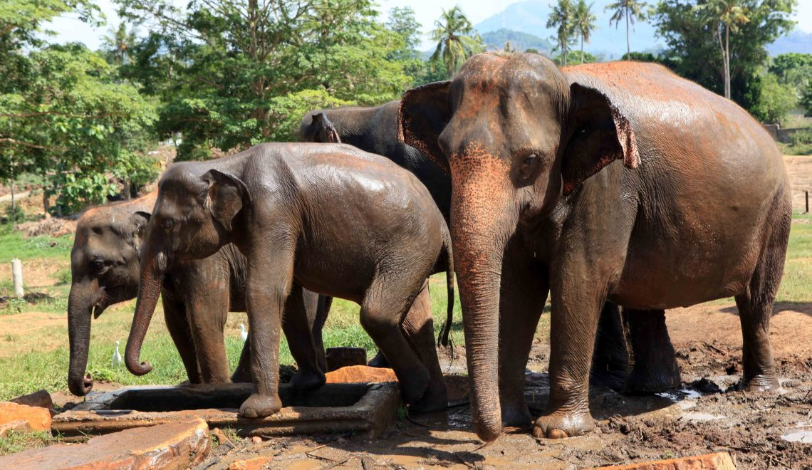 Sri Lanka – Pinnawela: un orphelinat pour éléphants ou un zoo?