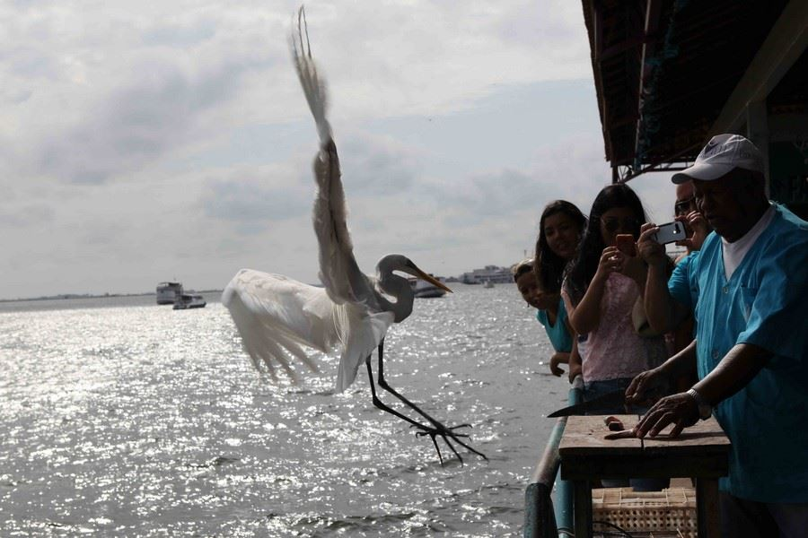 Certains poissonniers ont trouvé la combine : ils vendent aux touristes des poissons que les dauphins roses ou botos disputent aux grandes aigrettes qui s'invitent au festin.