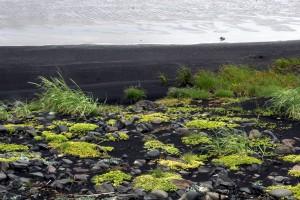 Seule plante de l'île susceptible de prospérer dans les cendres de lave et les sables arides, l'Elyme des sables (Leymus arenarius) est une grande graminée au feuillage vert pastel qui a la particularité de fixer les sols battus par les vents.