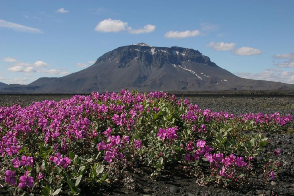 L'austère beauté du volcan Herdubreid contraste avec la douceur d'un tapis d'épilobes des moraines (Epilobium fleischeri) qui prospère dans une étendue de cendres volcaniques noires. Cette vivace s'épanouit de fin Juin à Août. Sa racine rouge contient une substance antigel : l'anthocyanine.
