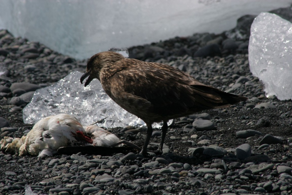 Le grand labbe est un redoutable prédateur, agressif envers les autres oiseaux et même envers l'Homme si ce dernier pénètre sur son territoire.