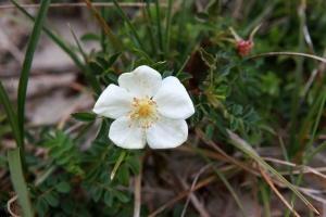 Chausey - fleur