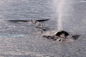 Une baleine à bosse ou jubarte expulse l'air de ses poumons.