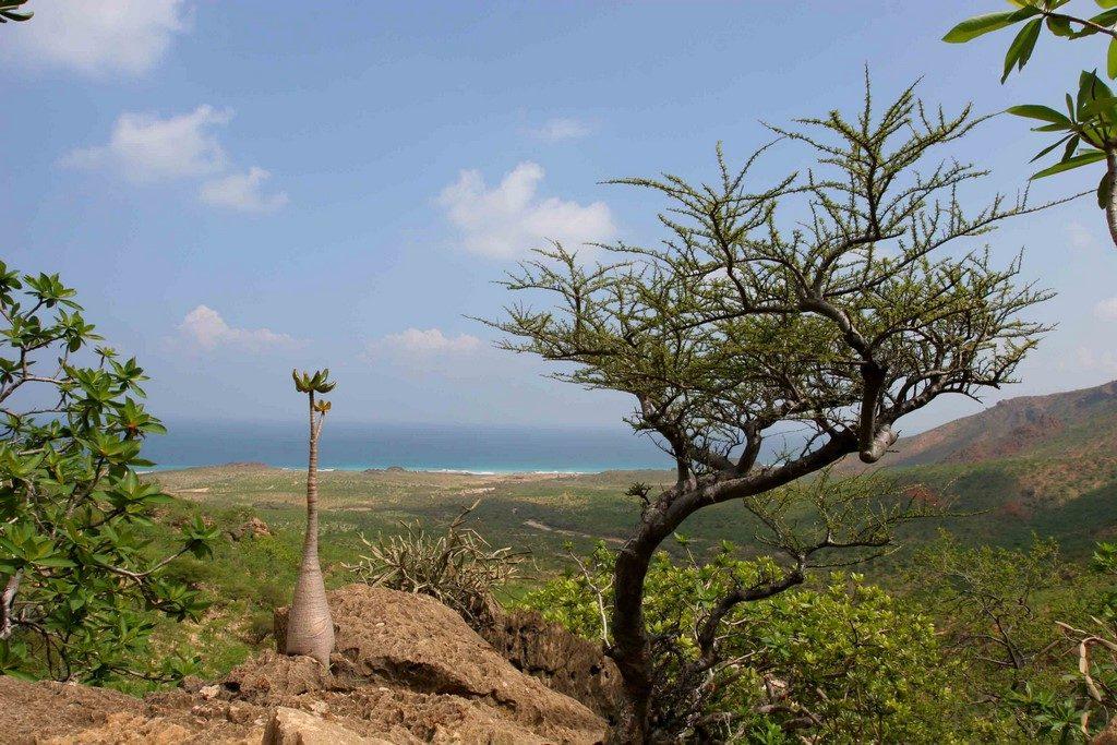 Moins commun que l'arbre à encens, l'arbre à myrre fournit une résine utilisée pour son parfum et son action antispasmodique.