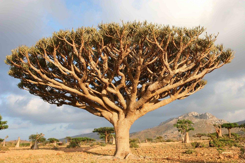 Ici, les euphorbes (Euphorbia arbuscula) sont des arbres. Ils croissent aussi bien sur les hauts plateaux calcaires du nord de l'île que sur les roches granitiques du littoral.