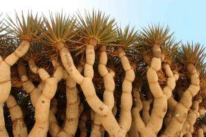 Les feuilles persistantes en forme de glaive du sang-dragon captent l'humidité des brumes qui tombent sur Socotra.