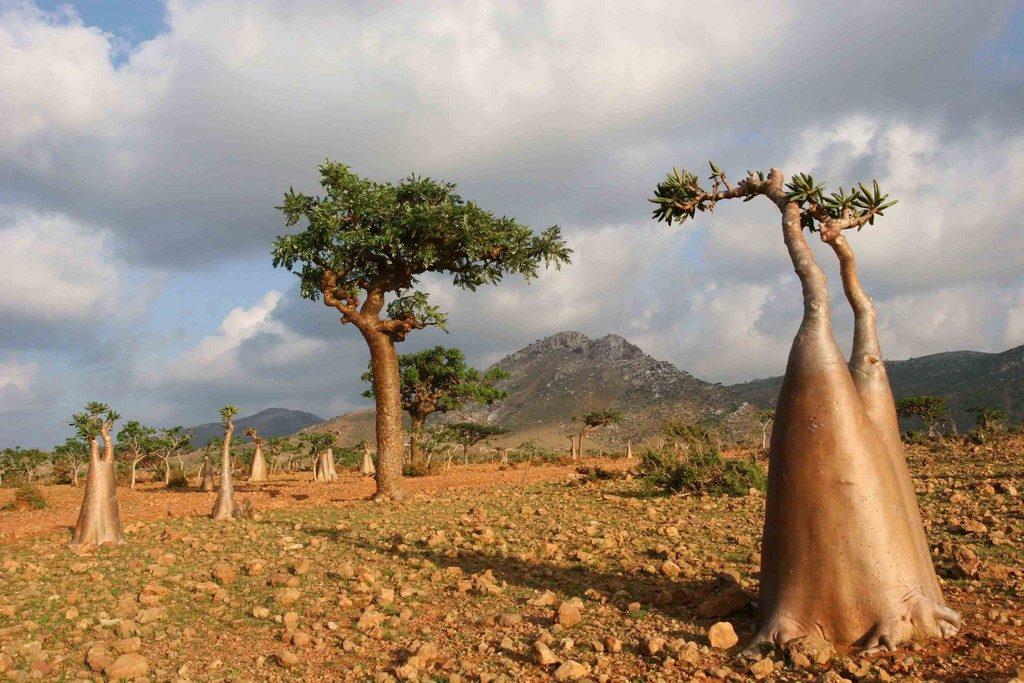 Adénium obèse ou rose du désert et arbre à encens. Le nom de l'adénium semble issu du nom de la ville d'Aden.