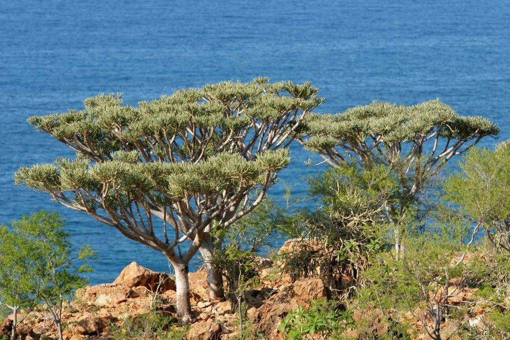 Après avoir formé un buisson très ramifié, Euphorbia arbuscula, devient un véritable arbre en vieillissant. La plante jeune sert de fourrage aux herbivores locaux qui, lorsque l'année est sèche, peuvent brouter la plante jusqu'à la racine, d'où une raréfaction de l'espèce.