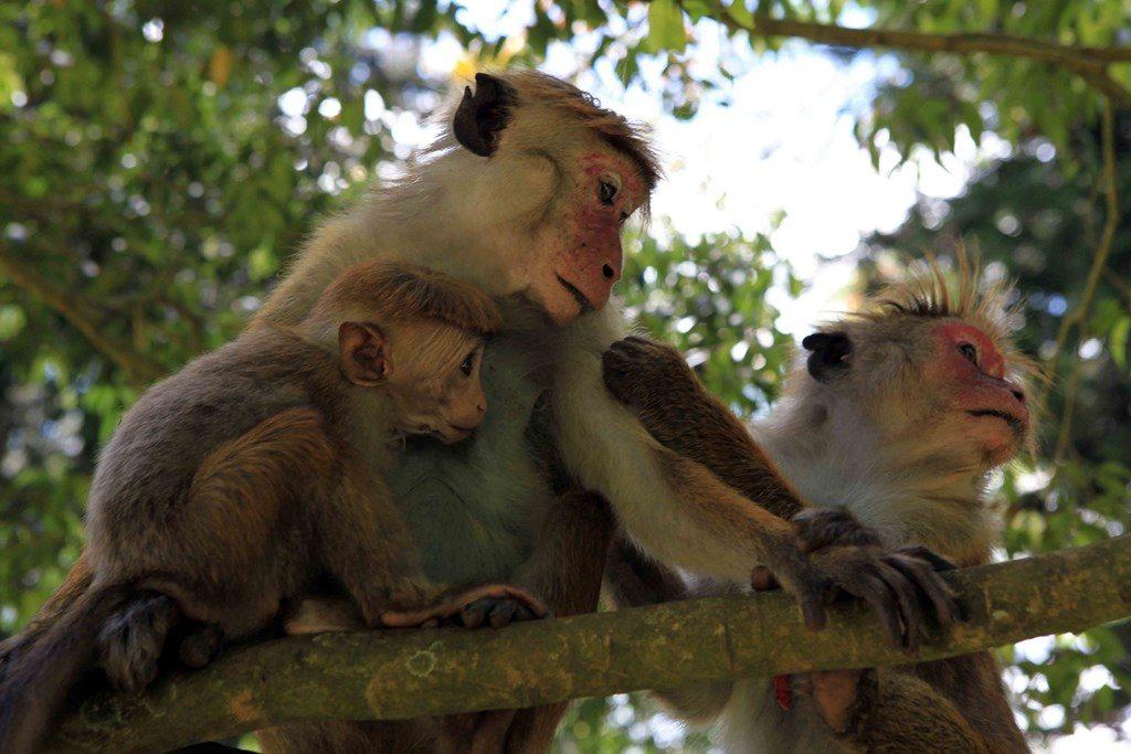 Ce primate, que l'on trouve uniquement à Sri Lanka, est un singe très intelligent et attachant qui vit en groupe d'une trentaine d'individus, avec des relations intra-groupe très hiérarchisées, que les Sri Lankais comparent au système des castes en Inde.
