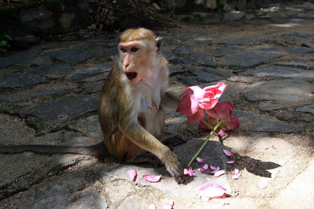 Un macaque a réussi à chaparder une fleur de lotus et s'apprête à la manger.