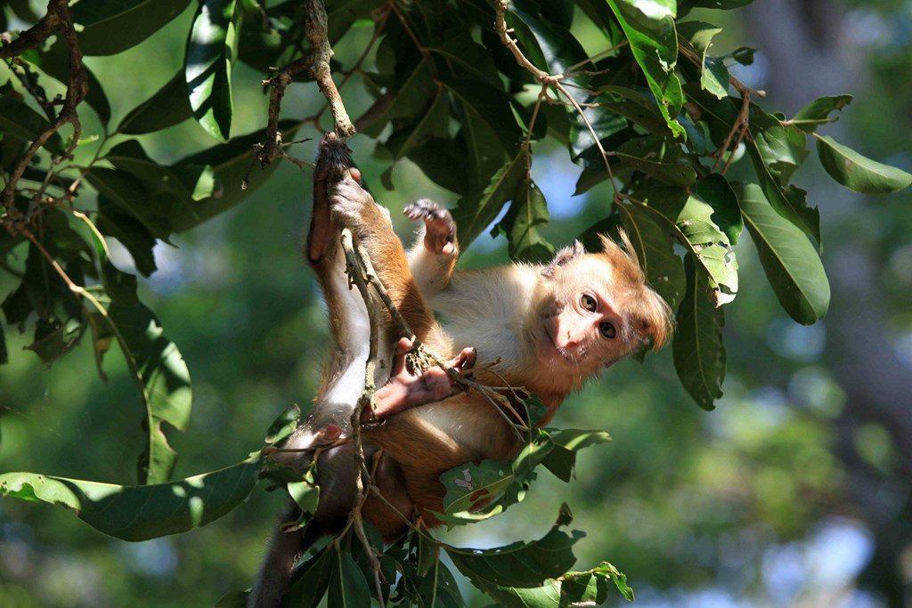 Aussi à l'aise sur le sol que dans les branches, le macaque est un acrobate virtuose qui n'hésite pas à plonger dans les lacs pour ramasser les graines de nénuphars dont il se régale.
