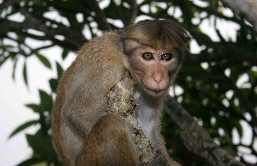 Sri Lanka : le royaume des macaques à toque