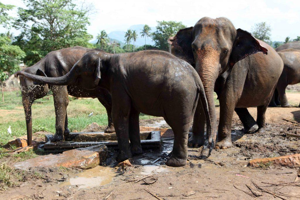 Le centre héberge environ 80 éléphants, mâles et femelles, sur trois générations.