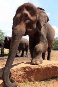 On peut approcher les éléphants de très près. Tout au moins les plus habitués aux visiteurs.