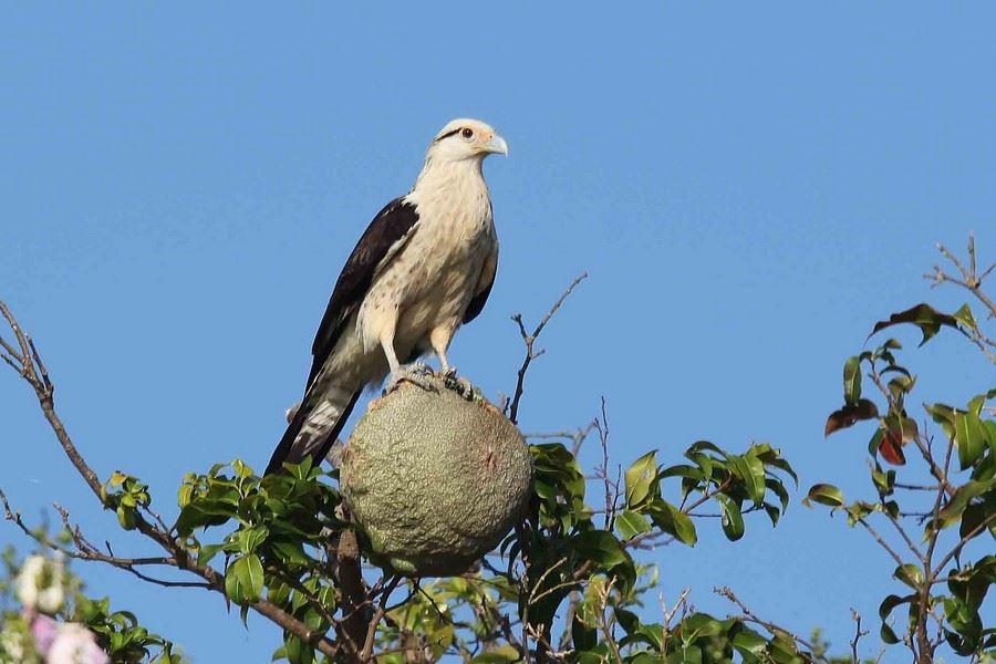 Un aigle s'est posé sur une noix de sapucaï.