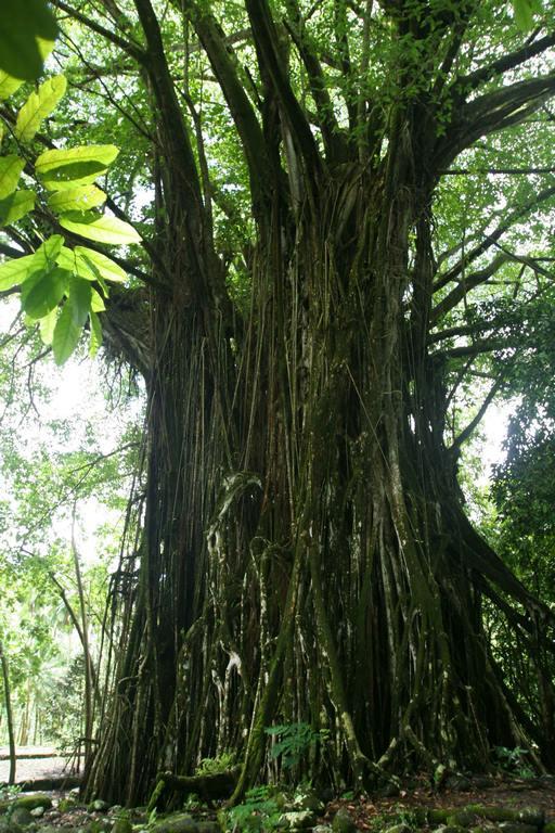 Île de Nuku Hiva, Hatiheu, grand banyan sacré dans lequel on a retrouvé des crânes et considéré comme tapu.
