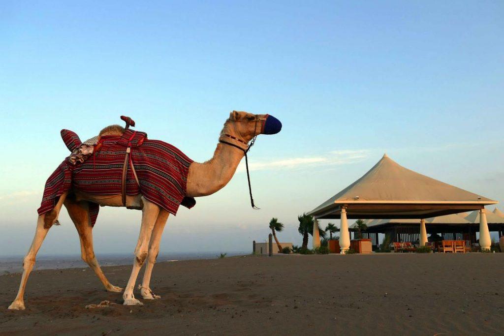 Un dromadaire attend son cavalier devant la tente salon de Dunes.