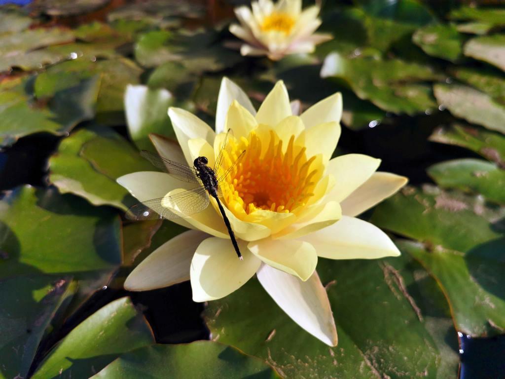 Le soleil chauffe et les libellules commencent leur ballet autour des nénuphars.