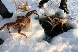 Norvège. Le plongeur remonte les premiers crabes royaux.