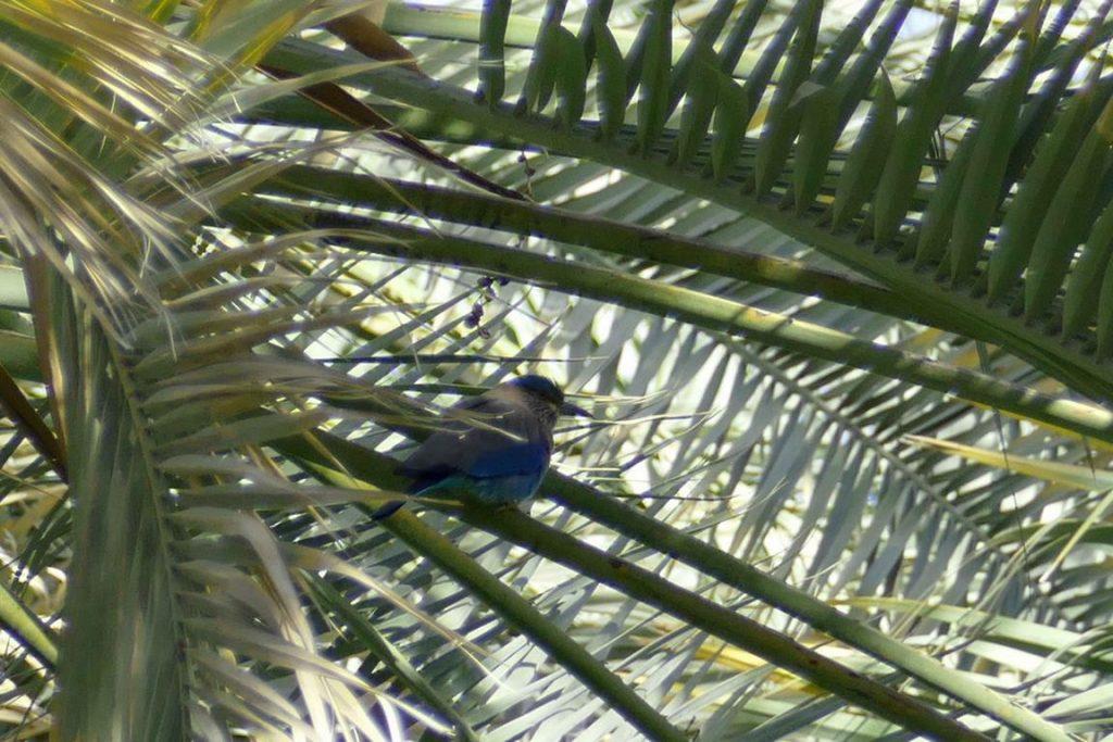 Un rollier dans l'oasis de Birkat al Mawz .