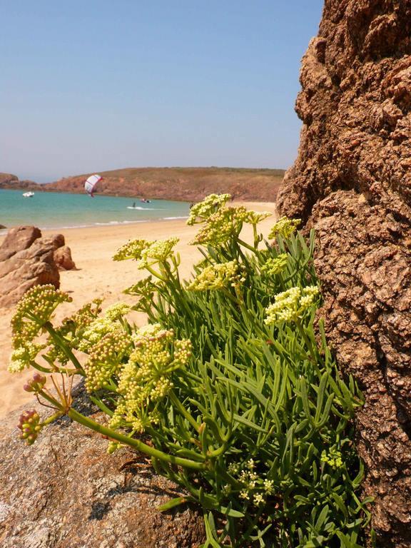 Houat. La criste marine (Crithmum maritimum) qui s'incruste dans les falaises (ce qui lui a valu le nom de perce-pierre) et répand une agréable odeur de citron et de carotte.