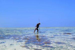 Zanzibar. Pêcheur de poulpes à la lance sur la plage de Bwejuu.