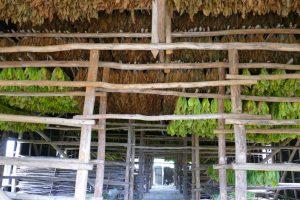Pinar del Rio. Dans les plantations ou vegas, chaque feuille est cueillie à la main, puis séchée dans de grands hangars ventilés à l'air libre.