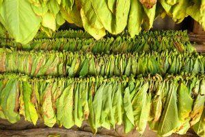 Pinar del Rio. Feuilles de tabac encore vertes en début de séchage.