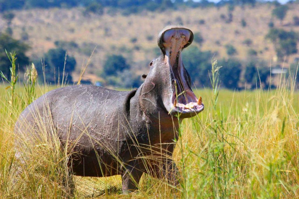 Bostwana. Parc national Chobé. Un hippopotame beugle sur la berge.