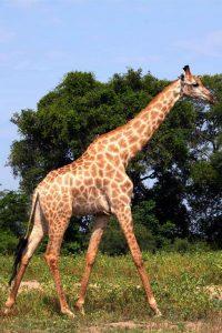 Bostwana. Parc national Chobé. Cette girafe déambule tranquillement dans la savane.