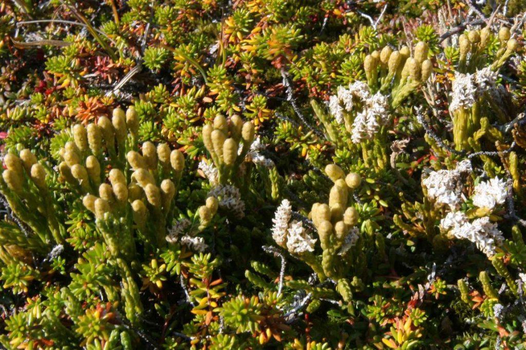 Groenland. Lycopode des Alpes (Diphasiastrum alpinum).