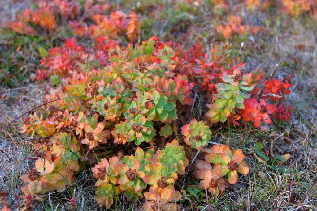 Groenland. Orpin rose (Rhodiola rosea).