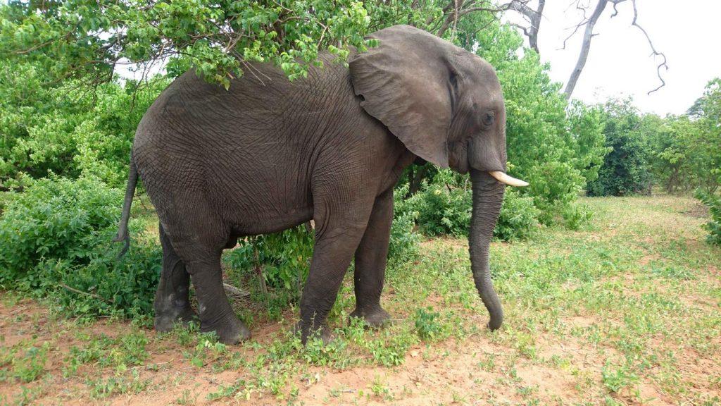 Bostwana. Parc national Chobé. Quelque 40 000 éléphants y vivent en toute liberté, théoriquement à l'abri des braconniers qui y sont pourchassés par des rangers peu enclins à l'indulgence.