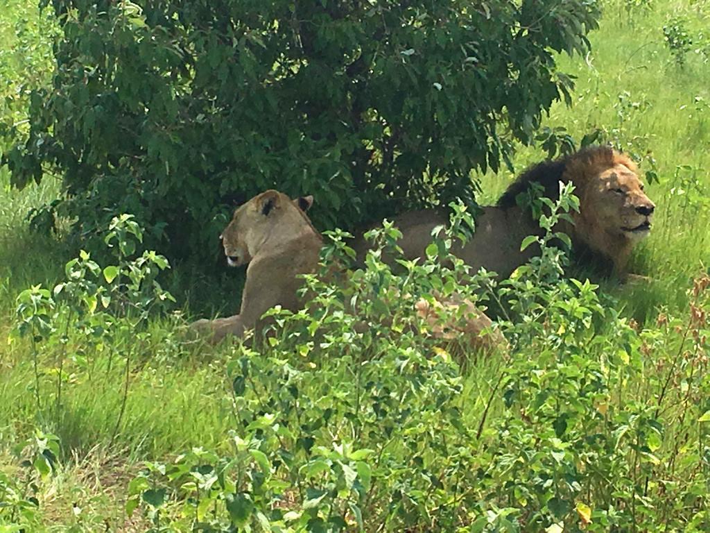 Bostwana. Parc national Chobé. Couple de lions faisant la sieste.