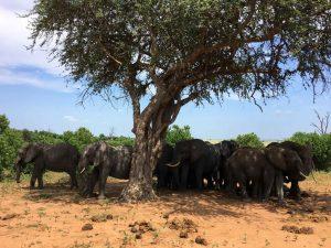 Bostwana. Parc national Chobé. Harde d'éléphants à l'ombre d'un grand arbre.
