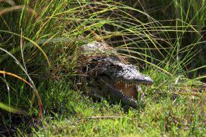 Bostwana. Parc national Chobé. Crocodile à l'affût d'une proie.
