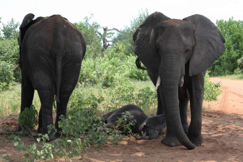 Bostwana. Parc national Chobé. Bébé éléphant fait sa sieste entre sa mère et une autre femelle, chacune regardant dans un sens opposé pour surveiller d'éventuels prédateurs.