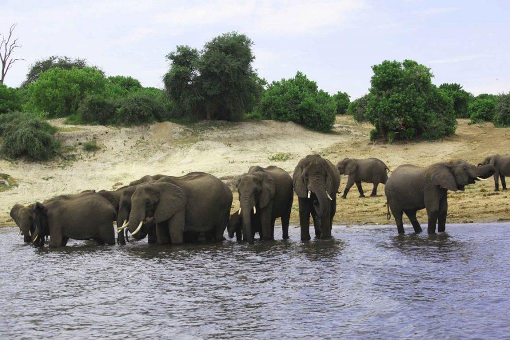 Bostwana. Parc national Chobé. Harde d'éléphants au bain.