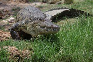 Bostwana. Parc national Chobé. Crocodile à l'affût sur la berge.