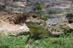 Bostxana. Rivière Chobé. Bostwana. Parc national Chobé. Crocodile à l'affût sur la berge.