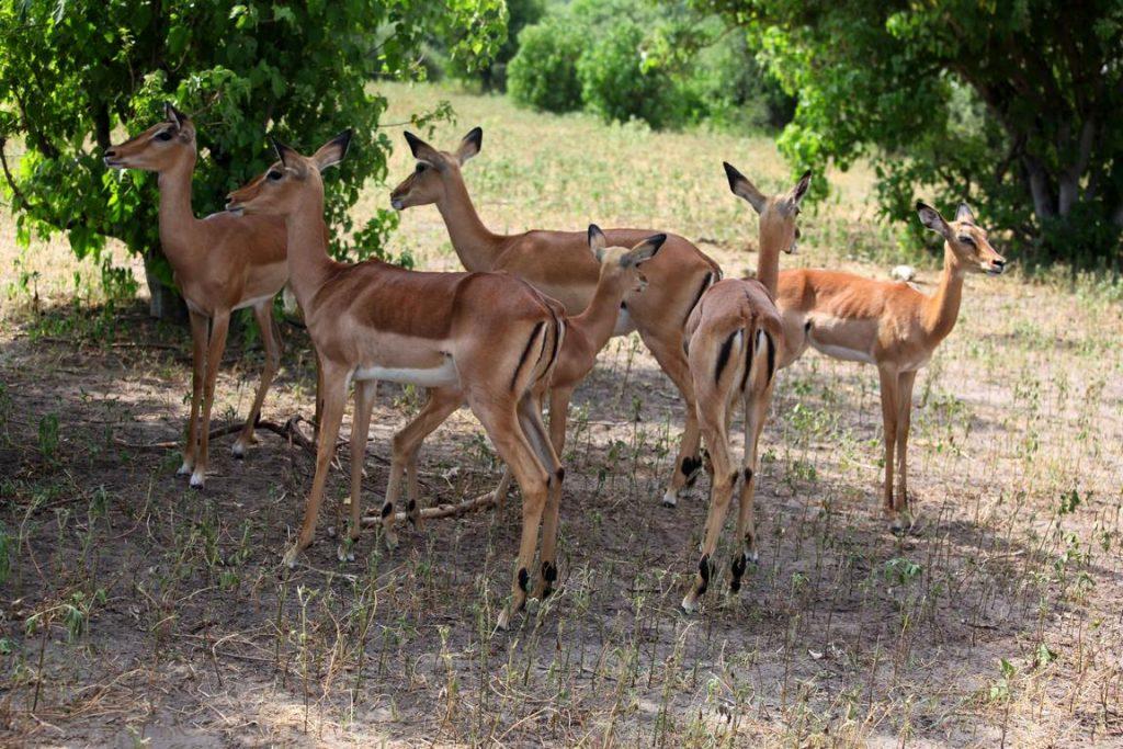 Bostwana. Parc national Chobé. Les Impalas vivent en troupeaux d'une vingtaine de femelles sous la surveillance d'un mâle.
