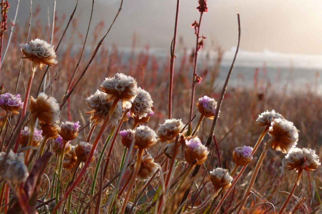 Groenland. Arméria maritime. Armeria maritima au soleil levant.